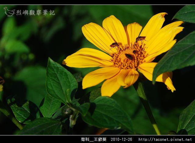 菊科-王爺葵_10.jpg