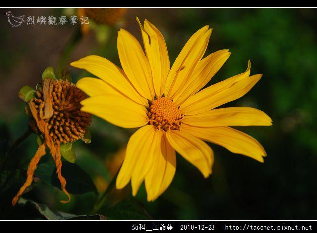 菊科-王爺葵_03.jpg