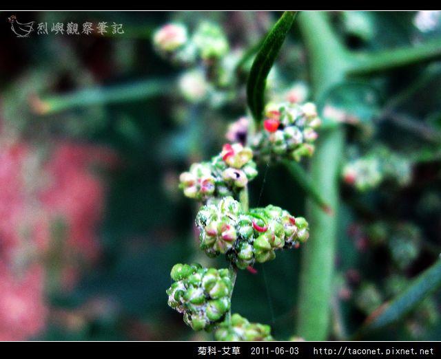 菊科-艾草_02.jpg