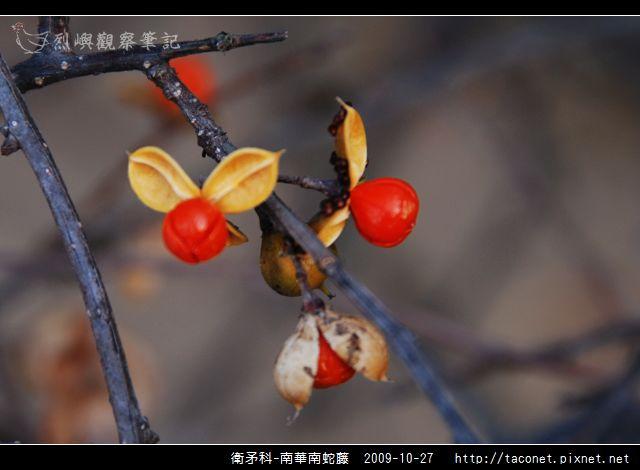 衛矛科-南華南蛇藤_02.jpg