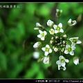 十字花科-薺_09.jpg