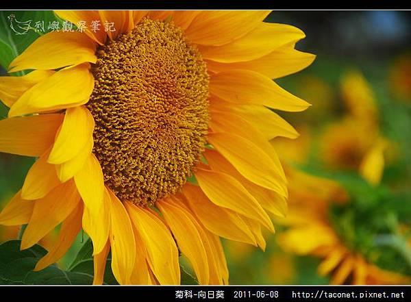 菊科-向日葵_10.jpg