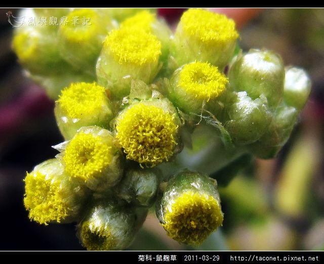 菊科-鼠麴草_02.jpg