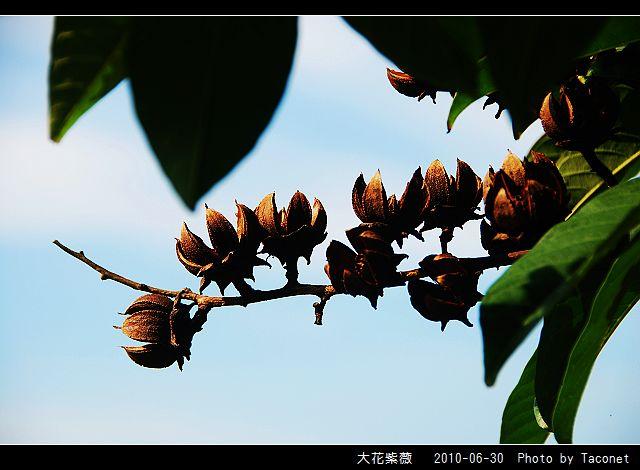 大花紫薇_02.jpg