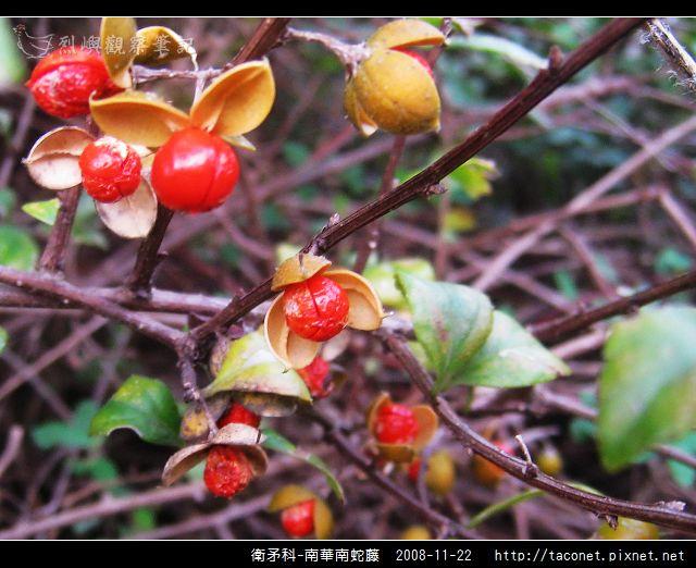 衛矛科-南華南蛇藤_12.jpg