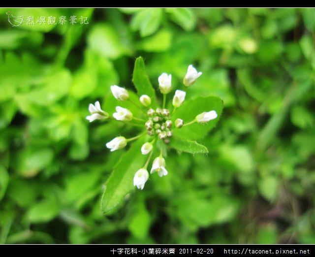 十字花科-小葉碎米薺_04.jpg