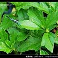 粗腰蜻蜓_01.jpg