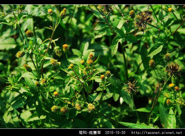 菊科-咸豐草_01.jpg