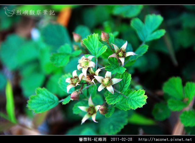 薔薇科-紅梅消_02.jpg