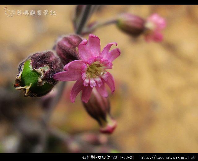 石竹科-女婁菜_09.jpg