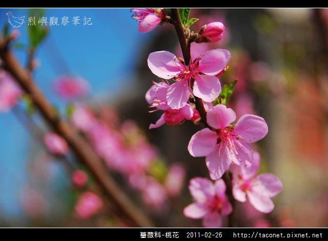 薔薇科-桃花_11.jpg