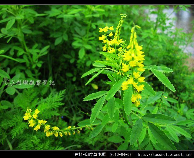 豆科-印度草木樨_01.jpg