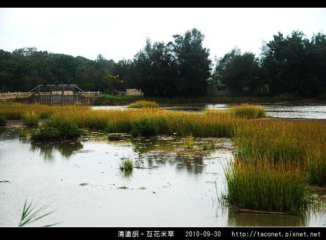 互花米草在清遠湖_05.jpg