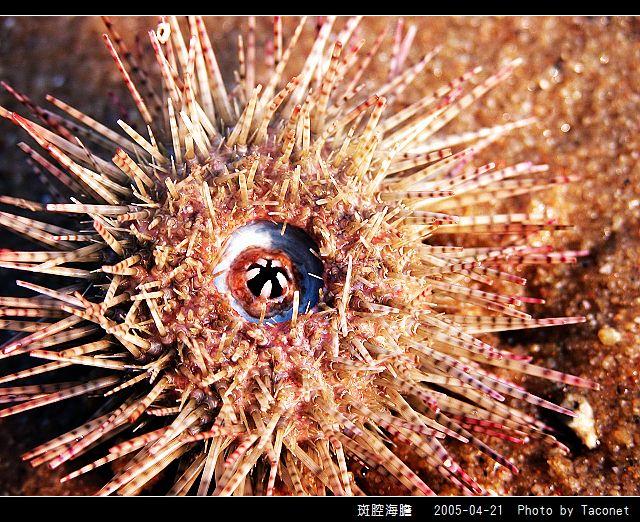 斑腔海膽_05.jpg