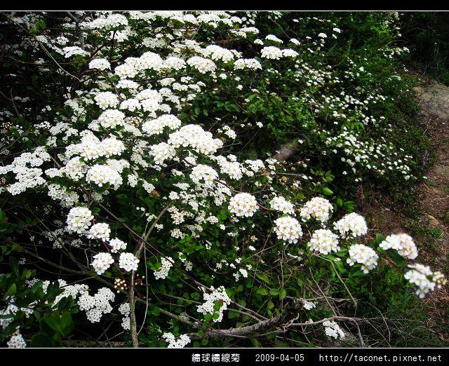 繡球繡線菊_12.jpg