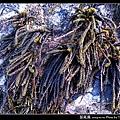 鼠尾藻_06.jpg
