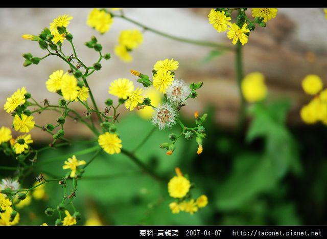 菊科-黃鵪菜_04.jpg