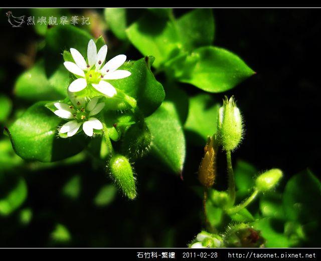 石竹科-繁縷_01.jpg