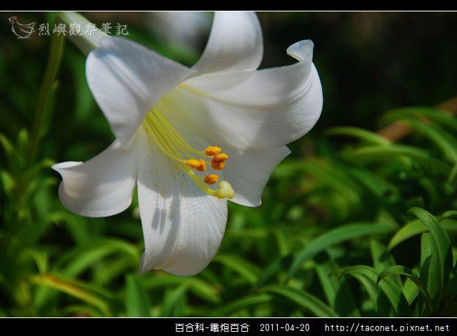 百合科-鐵炮百合_04.jpg