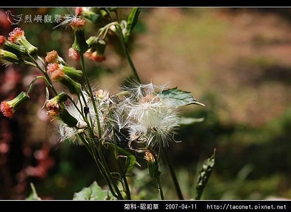 菊科-昭和草_06.jpg