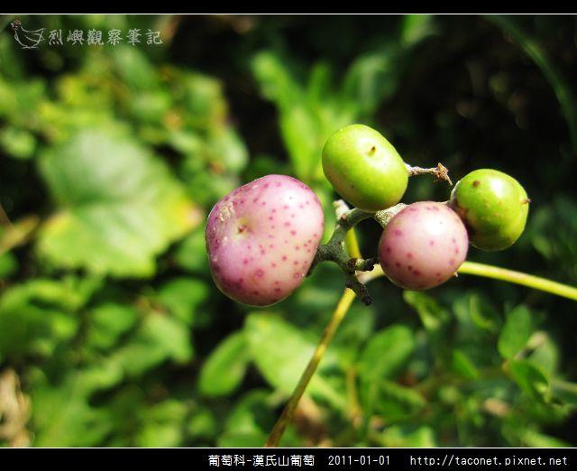 葡萄科-漢氏山葡萄_16.jpg