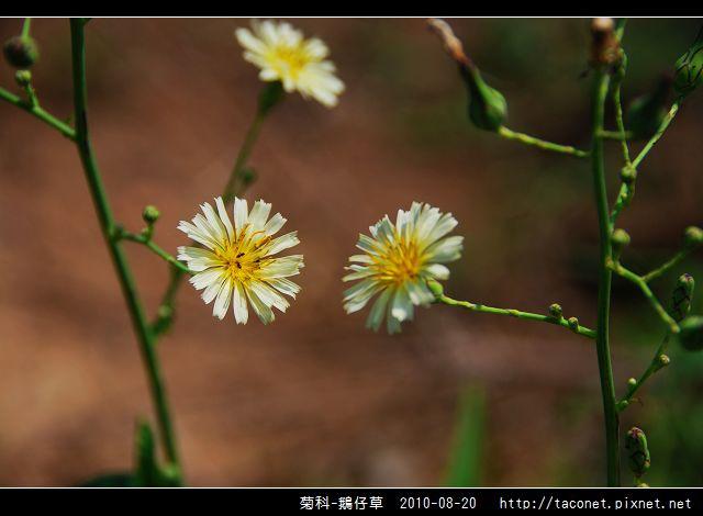 菊科-鵝仔草_05.jpg