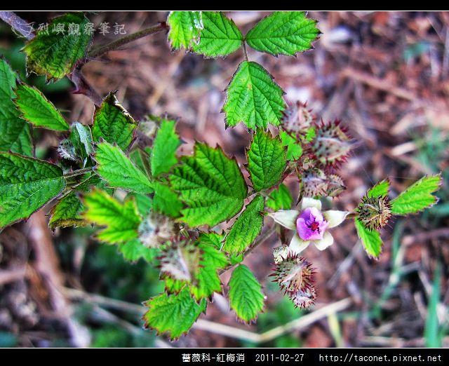 薔薇科-紅梅消_05.jpg