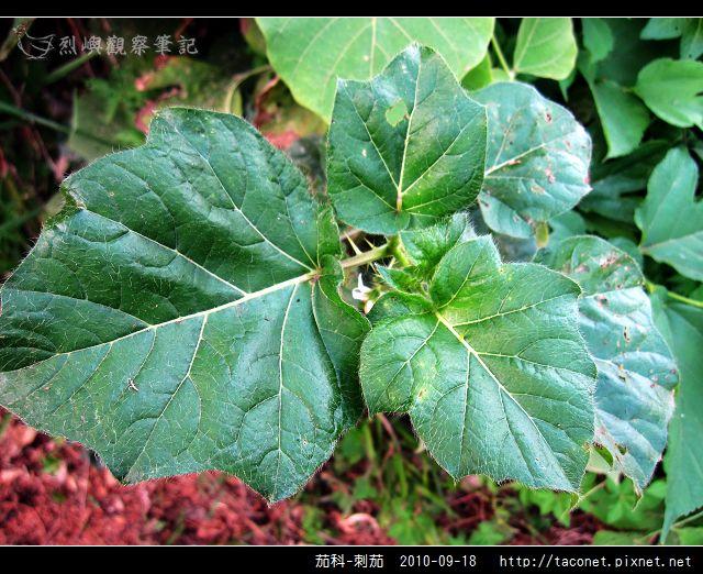 茄科-刺茄_07.jpg