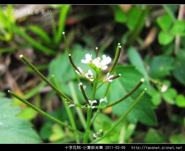 十字花科-小葉碎米薺_10.jpg