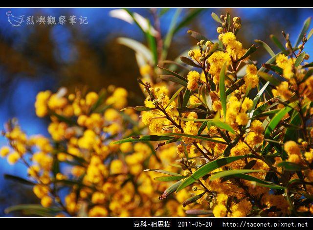 豆科-相思樹_06.jpg