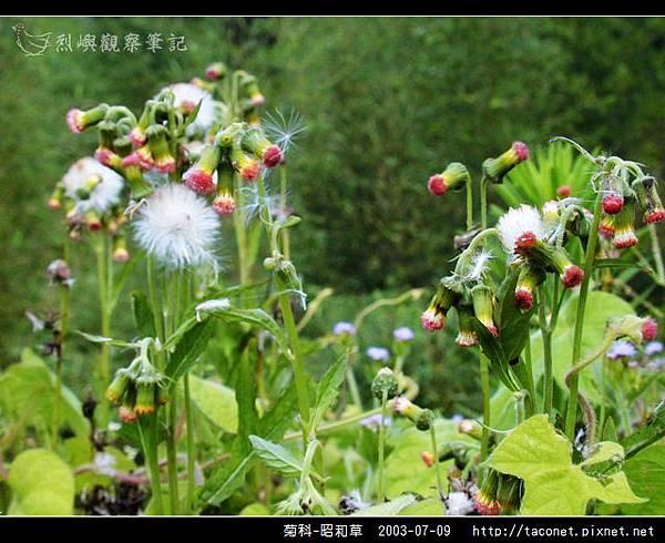 菊科-昭和草_02.jpg
