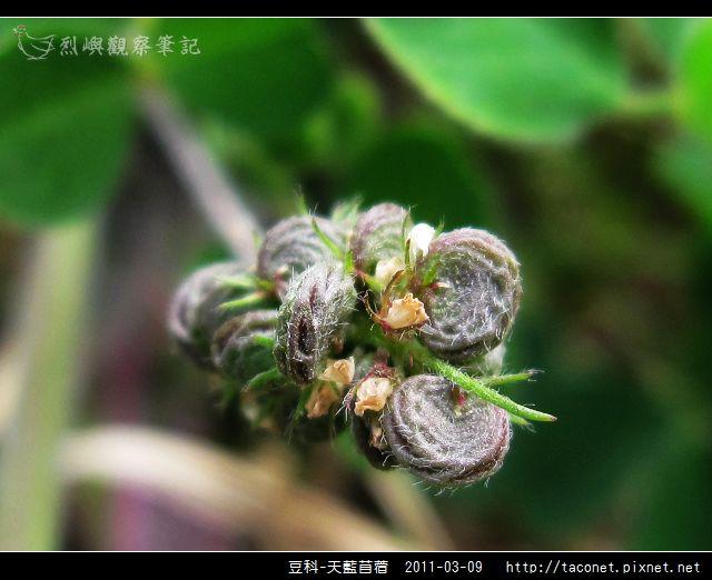 豆科-天藍苜蓿_09.jpg