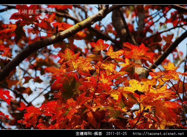 金縷梅科-楓香_11.jpg