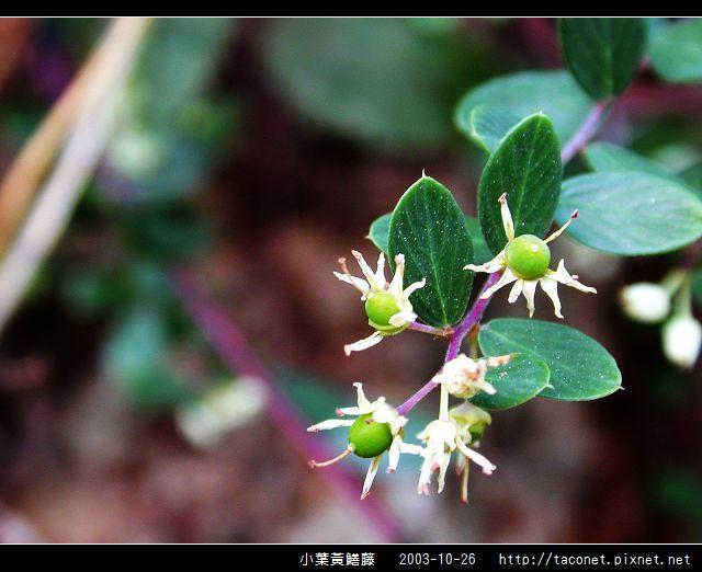 小葉黃鱔藤_05.jpg
