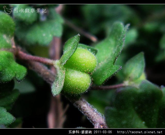 玄參科-婆婆納_05.jpg