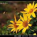 菊科-王爺葵_16.jpg