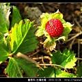 薔薇科-台灣蛇莓_03.jpg