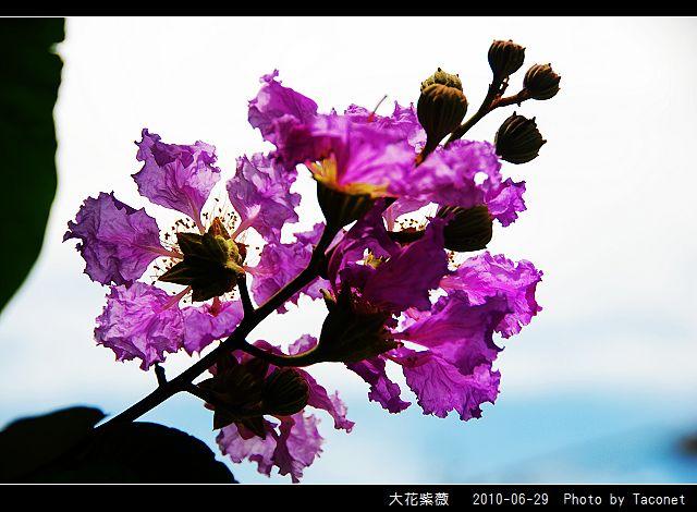 大花紫薇_15.jpg