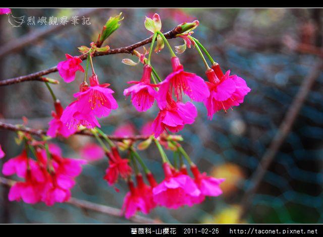 薔薇科-山櫻花_09.jpg