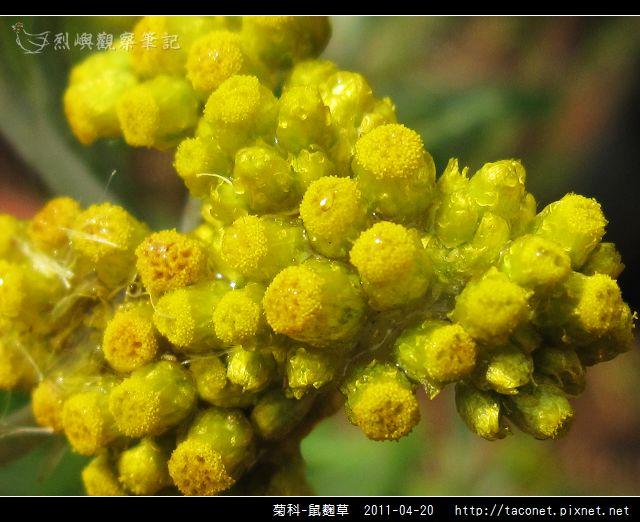 菊科-鼠麴草_06.jpg