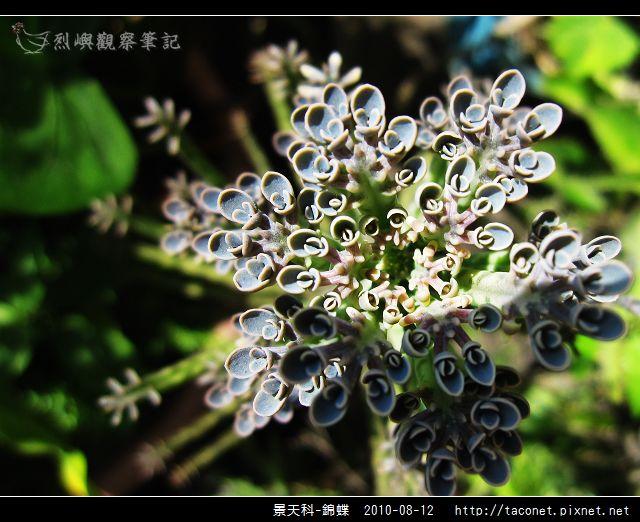 景天科-錦蝶_09.jpg