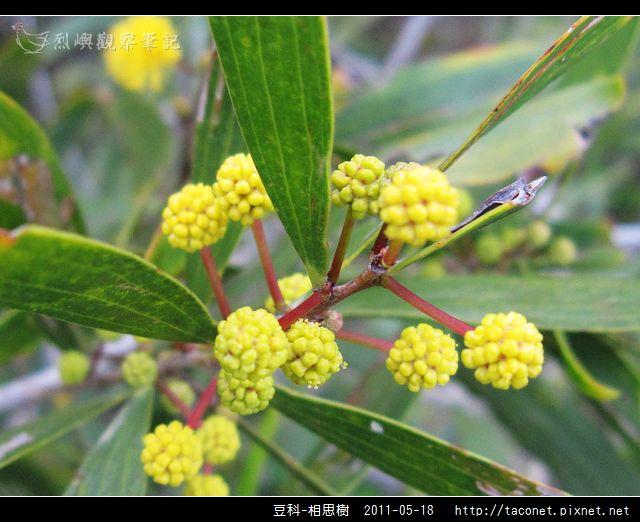 豆科-相思樹_25.jpg