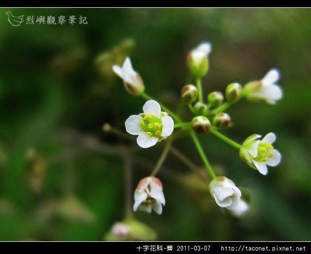 十字花科-薺_13.jpg