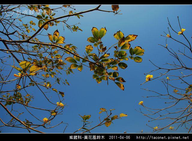 紫葳科-黃花風鈴木_09.jpg