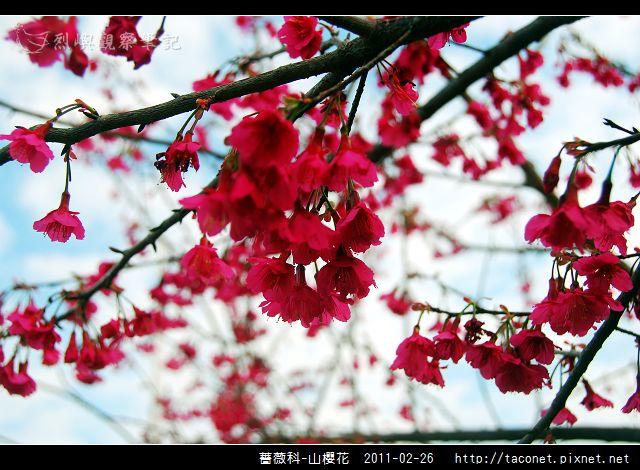 薔薇科-山櫻花_10.jpg
