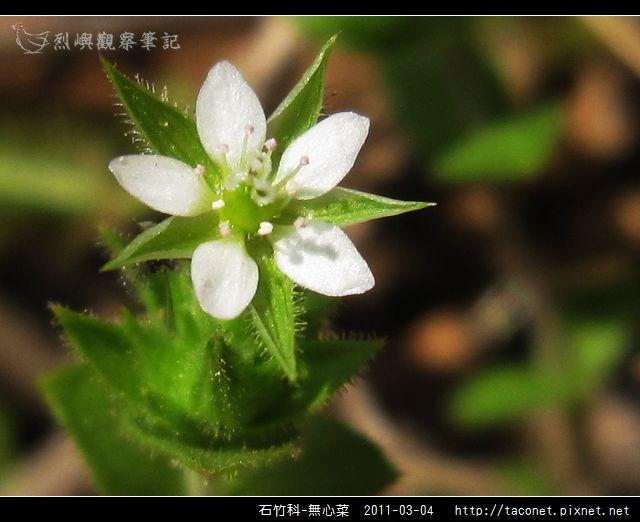 石竹科-無心菜_14.jpg