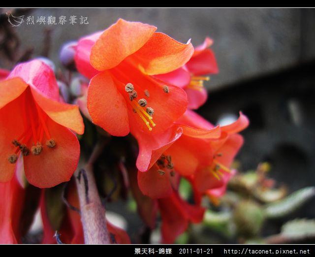 景天科-錦蝶_10.jpg