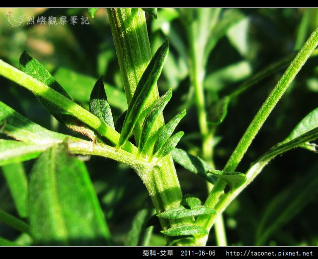 菊科-艾草_07.jpg