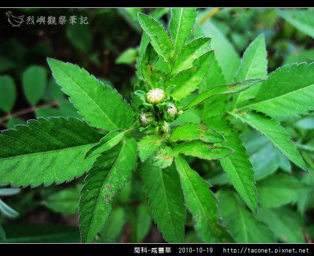 菊科-咸豐草_05.jpg