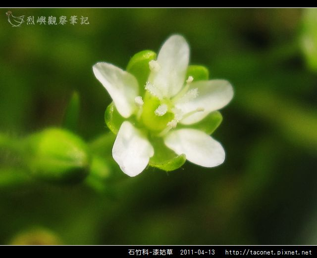 石竹科-漆姑草_11.jpg